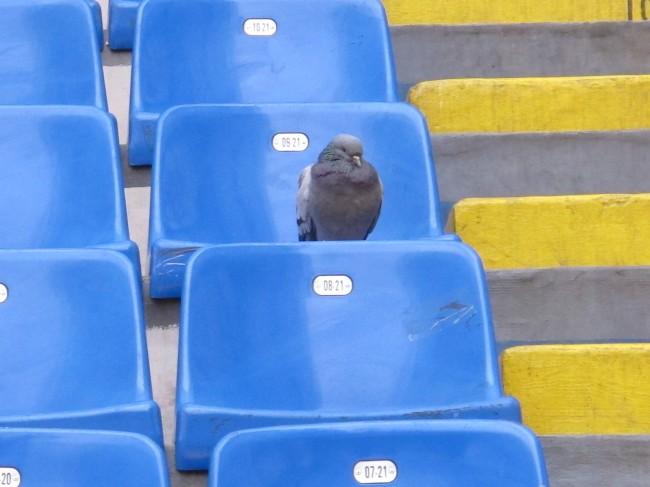 pigeon milan