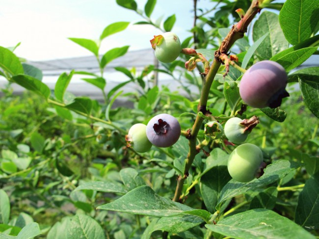 cueillette fruits milan