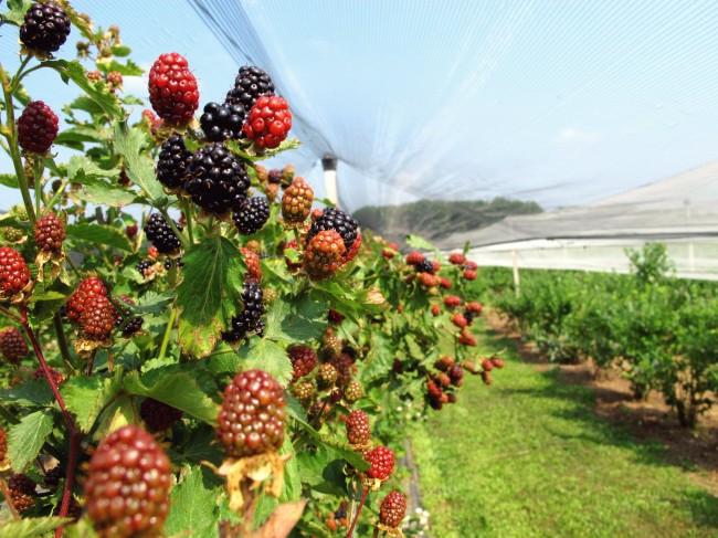 récolte fruits raccolta frutta busto garolfo