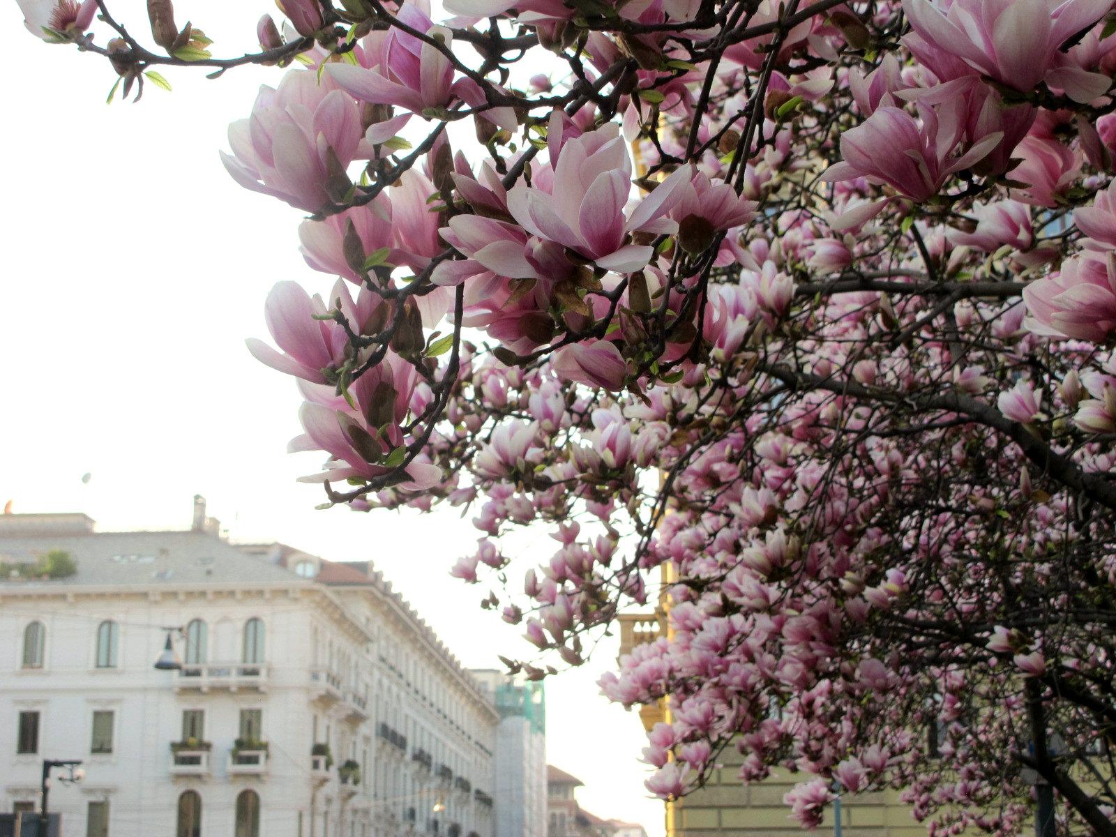 Magnolias en fleurs, magnolias for ever…