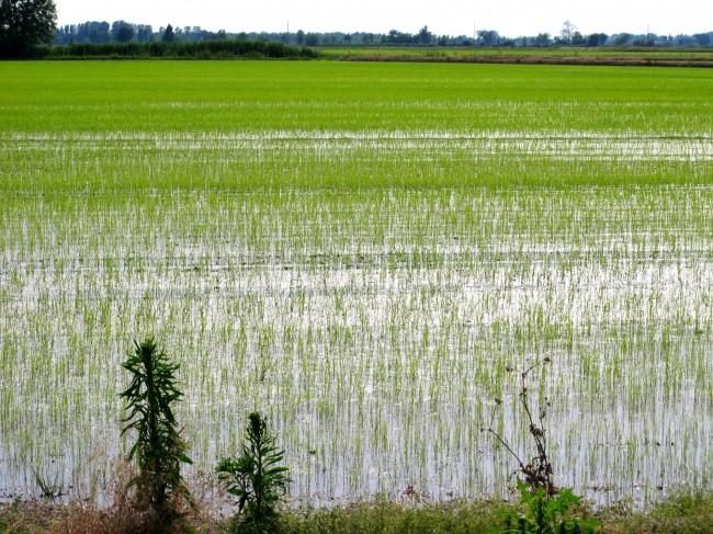 riso risotto milano