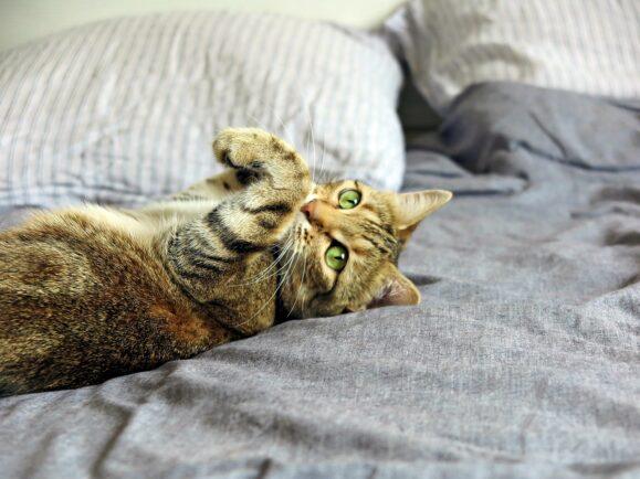 mina chat tigré